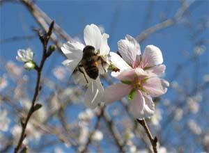 20061030四季桜&ミツバチ