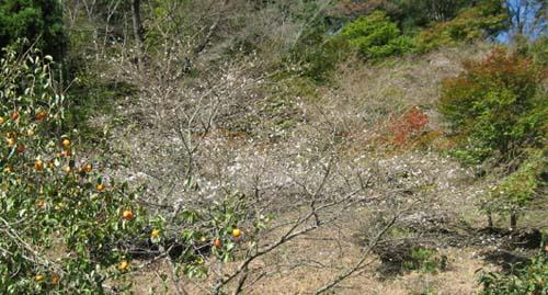 20061030四季桜