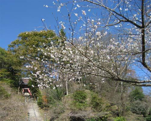 20061102四季桜