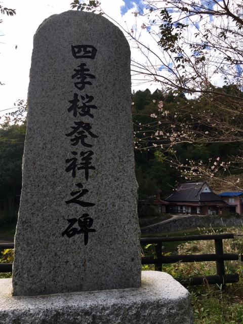 今日の四季桜(10月26日)