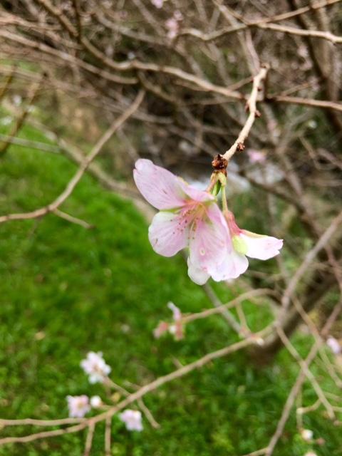 今日の四季桜20161101