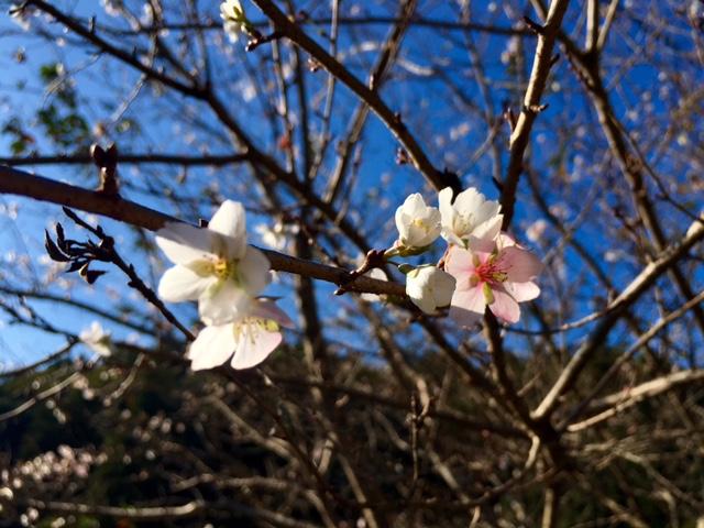 四季桜 2016年11月4日