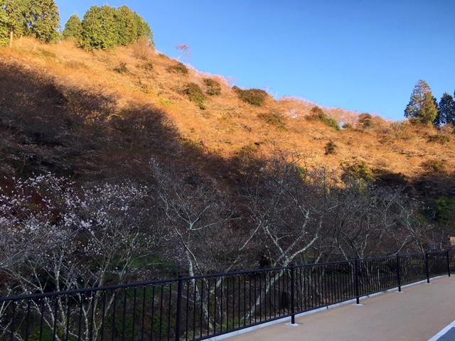 今朝の川見四季桜の里