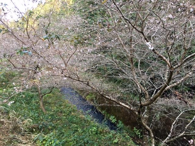 今日の四季桜20161107