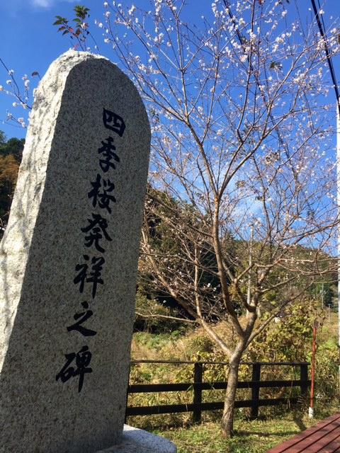 四季桜 20161113