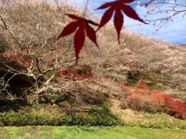 川見四季桜の里20161123