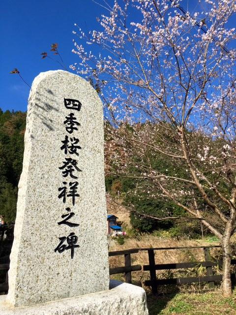 小原北町四季桜20161123
