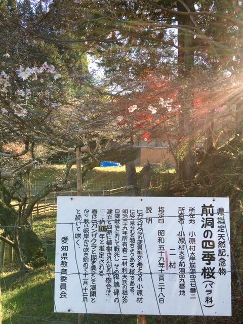 前洞四季桜20161126
