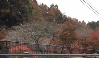 小原四季桜情報
